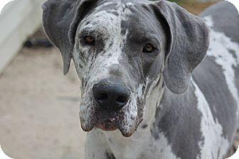 Great Dane Dog for adoption in Raleigh, North Carolina - Warren