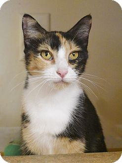 Domestic Shorthair Cat for adoption in Knoxville, Tennessee - Sadie (cat)