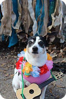 Rat Terrier Mix Dog for adoption in Rochester, Minnesota - Allie