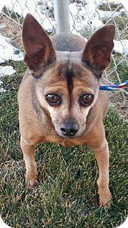 Chihuahua Mix Dog for adoption in Ogden, Utah - Loki