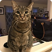 Domestic Shorthair Cat for adoption in Baltimore, Maryland - Morris (COURTESY POST)