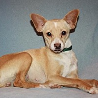 Rat Terrier/Chihuahua Mix Dog for adoption in Modesto, California - Chloe