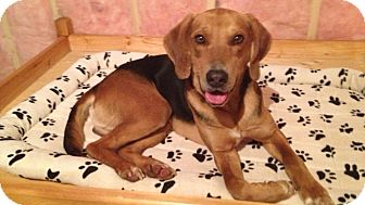 Hound (Unknown Type) Mix Dog for adoption in Douglas, Ontario - Zeppelin