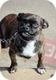 Boston Terrier/Pug Mix Dog for adoption in Justin, Texas - Ashley