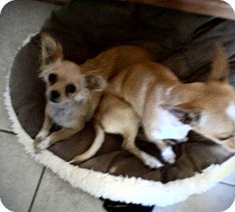 Chihuahua Dog for adoption in Winnetka, California - TEENIE
