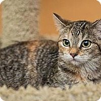 Domestic Shorthair Kitten for adoption in Miami, Florida - Baby Face