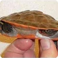 Adopt A Pet :: E. subglobosa - Baltimore, MD