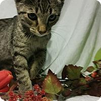 Adopt A Pet :: Yankee - Clearfield, UT