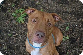 Labrador Retriever Mix Dog for adoption in Brookhaven, New York - Barack