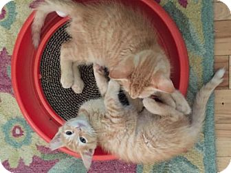 Domestic Shorthair Cat for adoption in Flint HIll, Virginia - Sunshine