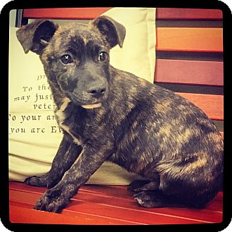 Black Mouth Cur Mix Puppy for adoption in Grand Bay, Alabama - Magnum