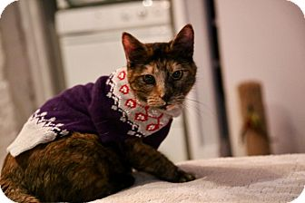 Domestic Shorthair Cat for adoption in New  York City, New York - Missy