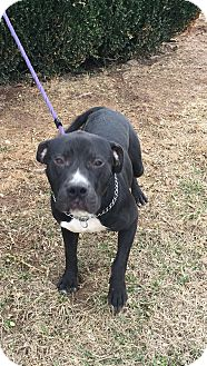Labrador Retriever/Pit Bull Terrier Mix Dog for adoption in Oak Grove, Kentucky - Dickson