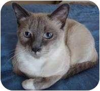 Siamese Cat for adoption in Franklin, North Carolina - Thai