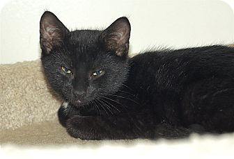 American Shorthair Kitten for adoption in Victor, New York - Patch