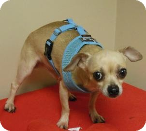 Chihuahua Mix Dog for adoption in Gary, Indiana - Chico