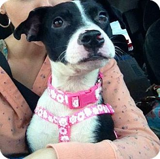 Border Collie Mix Puppy for adoption in Winter Haven, Florida - Emma