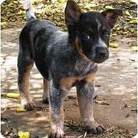 Adopt A Pet :: Boss *ADOPTION PENDING* - Phoenix, AZ