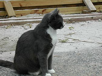 Domestic Shorthair Cat for adoption in Naples, Florida - Melody