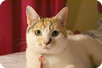 Domestic Shorthair Cat for adoption in Santa Ana, California - Moonflower