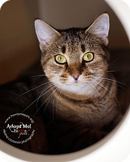 Domestic Shorthair Cat for adoption in Lyons, New York - Rosie
