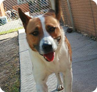 Akita Mix Dog for adoption in San Antonio, Texas - Kira