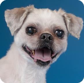 Shih Tzu Dog for adoption in Chicago, Illinois - Peirce