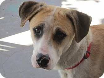 Shepherd (Unknown Type) Mix Dog for adoption in El Paso, Texas - Momma