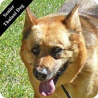 German Shepherd Dog Mix Dog for adoption in Cupertino, California - Binola T.