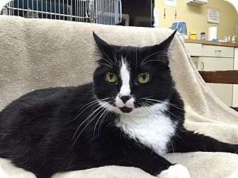 Domestic Shorthair Cat for adoption in Maryville, Missouri - Tortuga