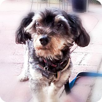 Schnauzer (Miniature)/Terrier (Unknown Type, Small) Mix Dog for adoption in Monrovia, California - Steve