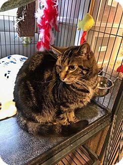 Domestic Shorthair Cat for adoption in Hanna City, Illinois - Bianca-adoption pending