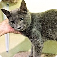 Domestic Shorthair Cat for adoption in Rocky Hill, Connecticut - Clear
