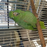 Adopt A Pet :: George (Special Needs) - Oceanside, CA