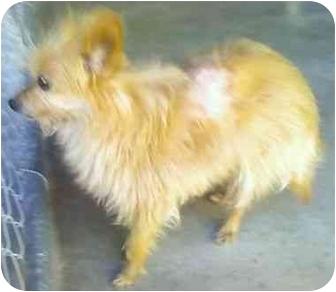 Yorkie, Yorkshire Terrier/Pomeranian Mix Dog for adoption in Riverside, California - Nutmeg