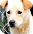 Labrador Retriever Mix Dog for adoption in Wakefield, Rhode Island - TRUCKER ..TANTALIZING LAB PETI