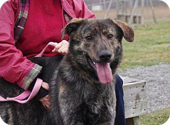 Australian Shepherd/Husky Mix Dog for adoption in Elyria, Ohio - Finnegan-Prison Dog