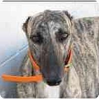 Adopt A Pet :: Trifle - St Petersburg, FL