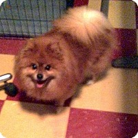 Adopt A Pet :: Lady - Tavares, FL