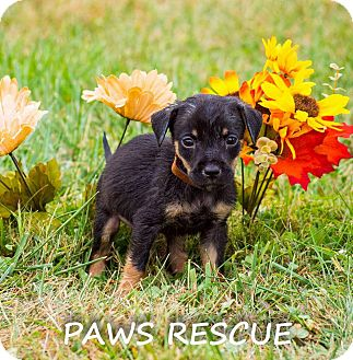 German Shepherd Dog/Collie Mix Puppy for adoption in Forest Hill, Maryland - Moon Doggy