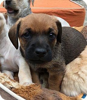 Terrier (Unknown Type, Small)/Schnauzer (Miniature) Mix Puppy for adoption in Emeryville, California - TIM KAINE