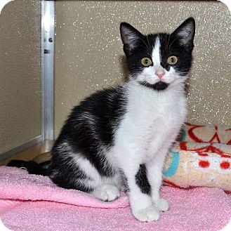 Domestic Shorthair Kitten for adoption in Wheaton, Illinois - Sammy