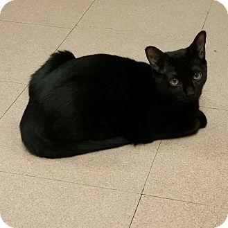 Domestic Shorthair Kitten for adoption in Mt. Airy, North Carolina - Miesha