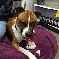 Boxer Mix Dog for adoption in Lake Odessa, Michigan - Rose