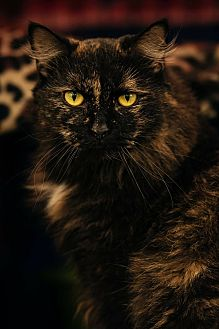 Maine Coon Cat for adoption in Coshocton, Ohio - Angel