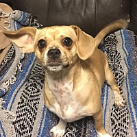 Pug/Chihuahua Mix Dog for adoption in Gaithersburg, Maryland - Garnet