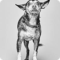 Adopt A Pet :: Robert Browning - Van Nuys, CA