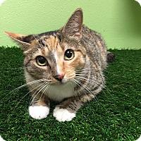 Adopt A Pet :: Cleopatra - Chandler, AZ