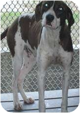 Pointer Mix Dog for adoption in Hubertus, Wisconsin - Bindy