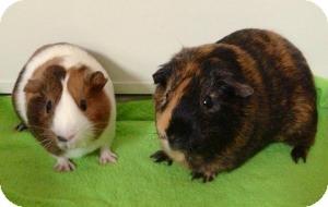 Guinea Pig for adoption in Fullerton, California - Adrian and Blaze